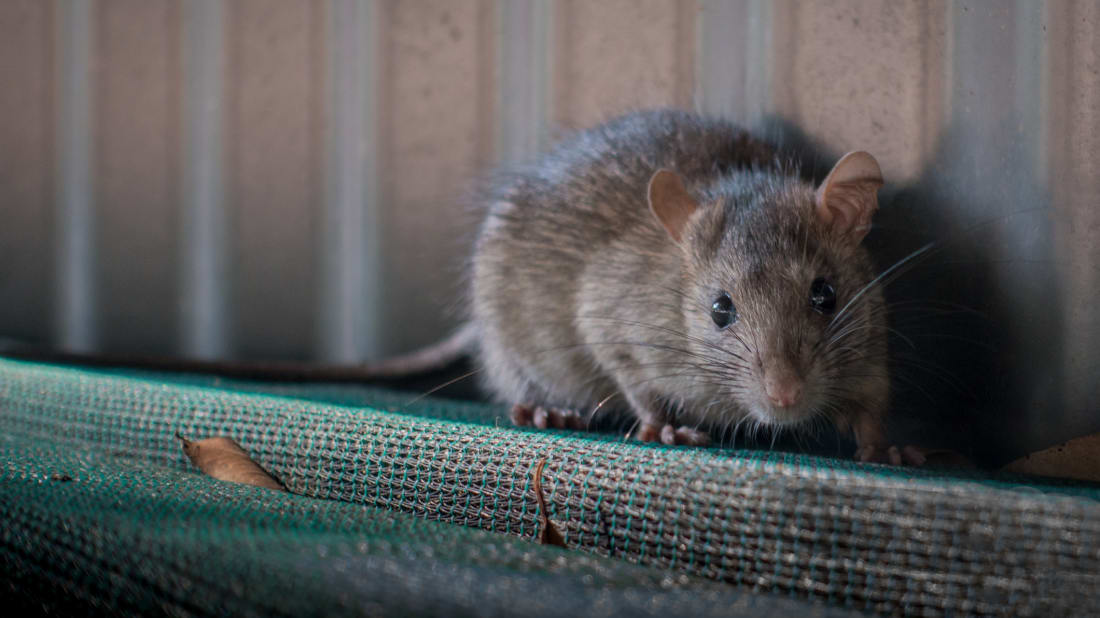 Albertans may love oil, but they hate rats