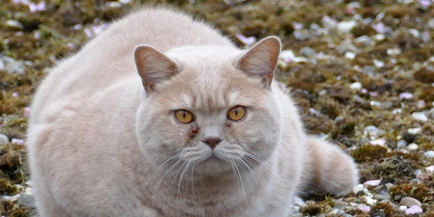 """""""Cougar sighting"""" near B.C. elementary school was actually a fat house cat"""