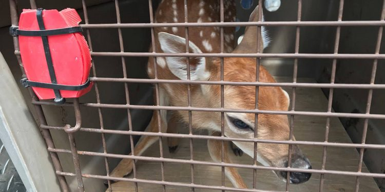 B.C. man carries fawn through liquor store—video footage leads to reunion with mother deer