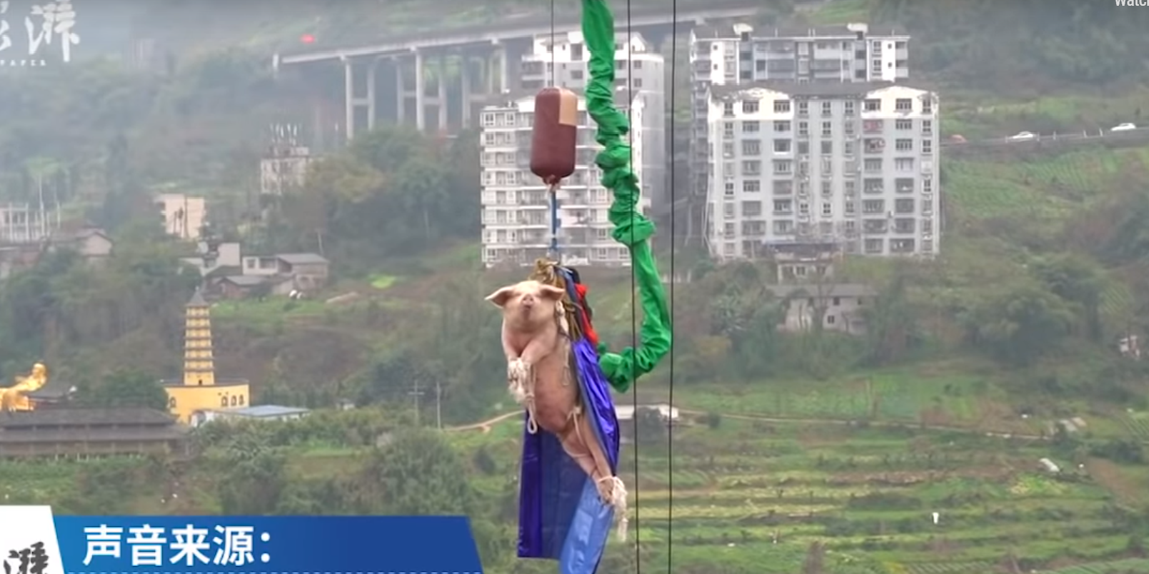 WATCH: Chinese pig wearing cape FLIES off bungee jump
