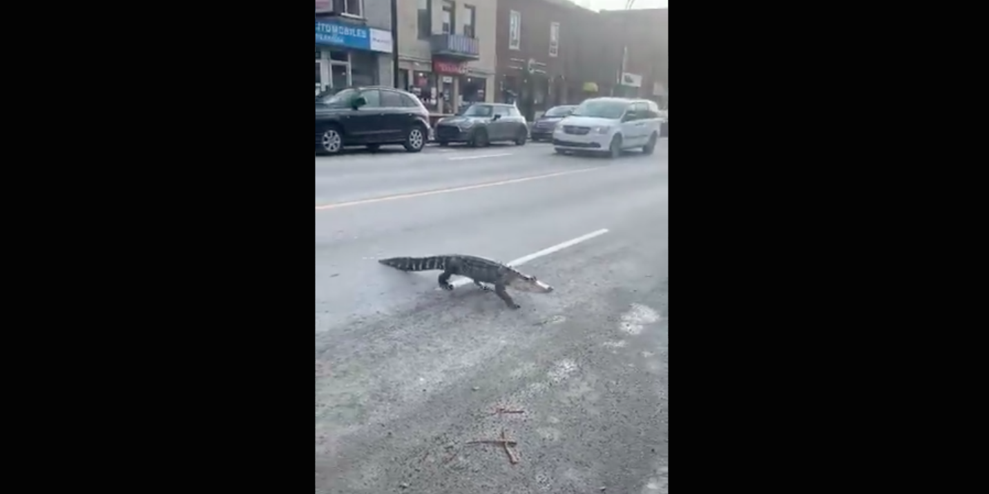 Alligator spotted crossing Montreal street