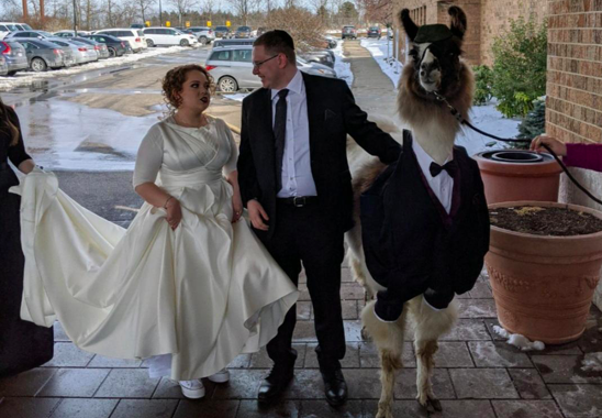 Man brings a llama as a date to his sister's wedding