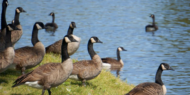 The city of Denver wants to slaughter Canada geese and feed their meat to the poor