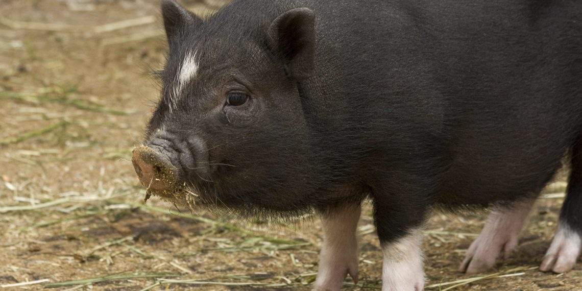 Yale researchers partially revive bodiless pig brains