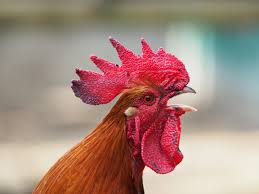 Pecked to death: woman dies from fatal rooster attack
