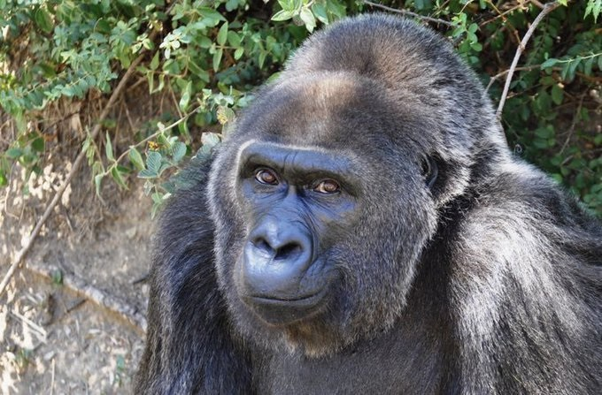 The oldest living captive western lowland gorilla, Trudy, dies at 63