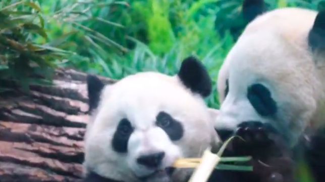 Pandas find time for love without constant visitors