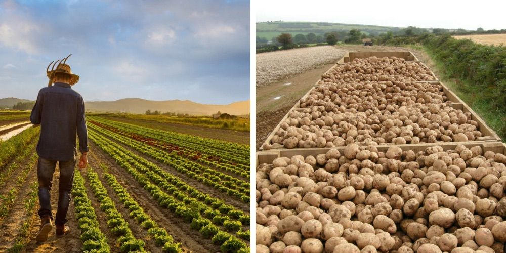 Canadian potato farmers have a glut of spuds after demand drops due to coronavirus