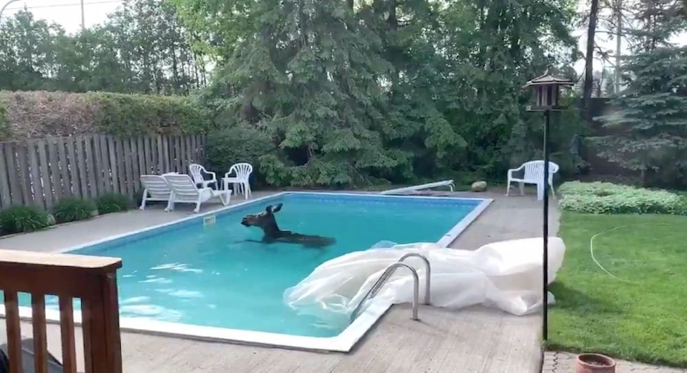 An Ottawa man woke up to rather Canadian surprise on Friday morning when he came out to his backyard to find a moose cooling off in his swimming pool.