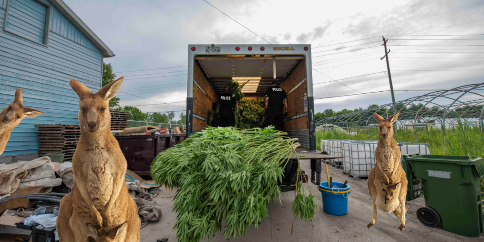 $150 MILLION worth of illegal cannabis, weapons, and 3 kangaroos seized by York Police