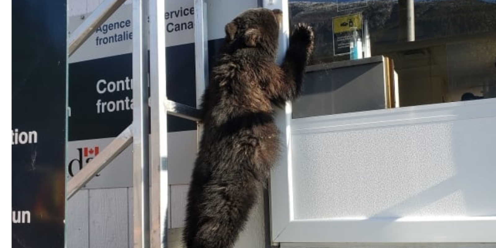 Undocumented bear cub apprehended trying to cross Canadian border