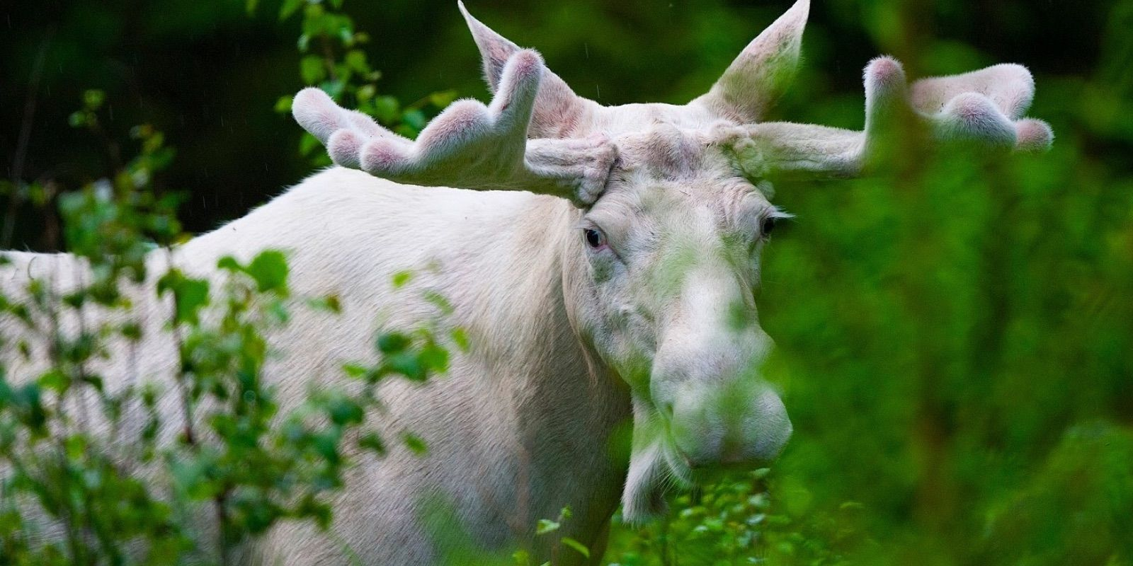 Very rare white moose poached in Ontario
